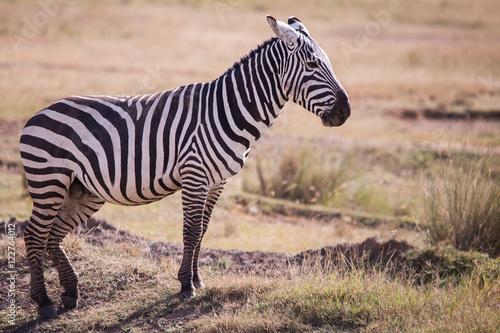 Foto op Plexiglas Zebra zebras, national park Masai Mara in Kenya