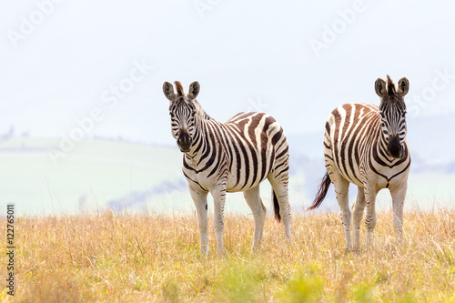 Poster Zebra cape mountain zebra