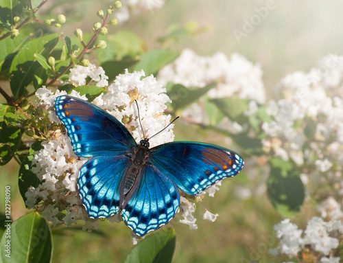 Poster Vlinder Red Spotted Purple Admiral butterfly feeding on white Crape myrtle flower cluster