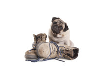 Cute Pug Puppy Dog Sitting Next To Pair Of Old Work Boots, Isolated On White Background