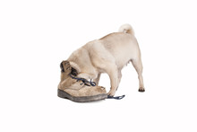 Nosey Pug Puppy Dog Sticking It's Head In An Old Smelly Work Boot, Isolated On White Background