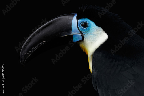 Foto op Plexiglas Toekan Close-up Channel-billed Toucan, Ramphastos vitellinus, portrait of bird with large beak Isolated on Black Background