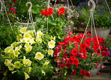 Colorful Flowers In Hanging Po...