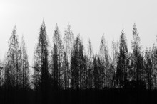 Black And White Pine Trees Row With Bright Sky.
