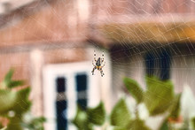 Spider In His Cobweb On An Old...