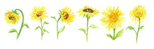 Watercolor Sunflower Set On Wh...