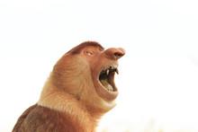 Proboscis Monkey. Big Teeth And Mouth. Monkey Isolated White Background