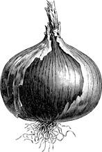 Vintage Image Onion