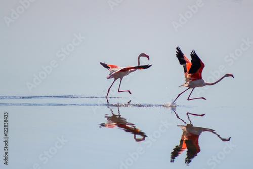 Dos Flamencos al comienzo de una carrera