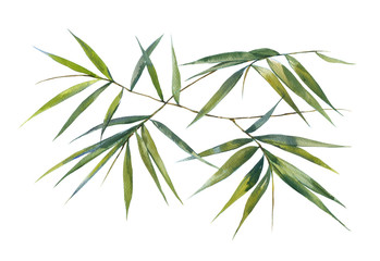 FototapetaWatercolor illustration painting of bamboo leaves , on white background