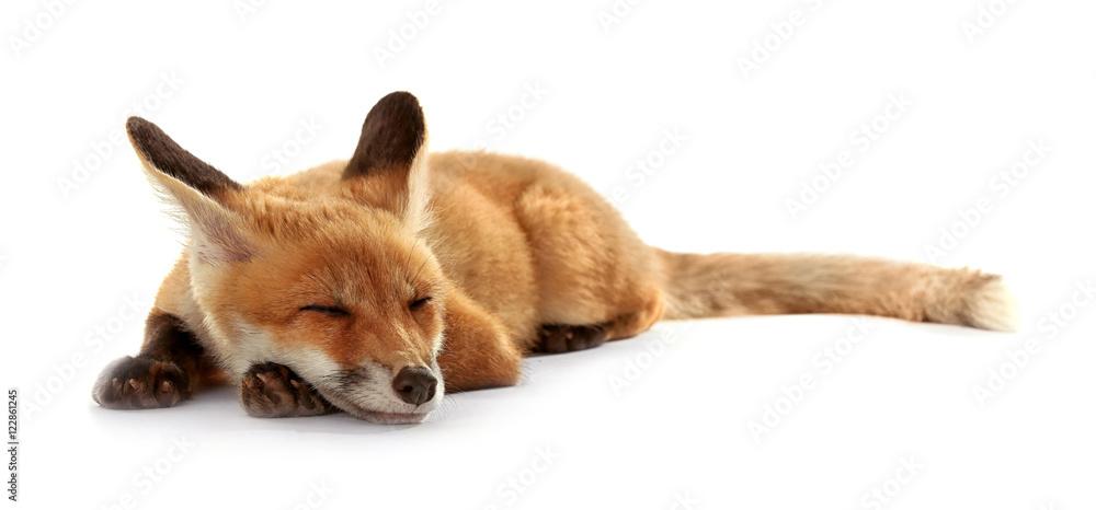 Fototapety, obrazy: Beautiful fox cub lying isolated on white