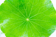 canvas print picture - Close up detail green leaf of Green Asiatic Pennywort