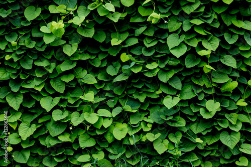 Fotografía  green wall, plant background