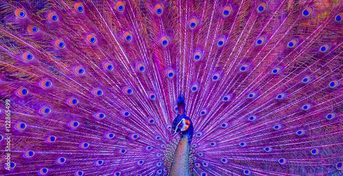 Foto op Aluminium Pauw Beautiful green peacock
