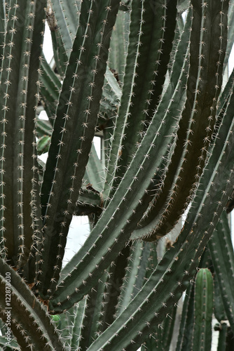 Canvastavla  Cactus in Queen Sirikit Botanic Garden
