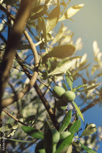 Tuinposter Olijfboom Fresh green olives fruit on olive tree branch