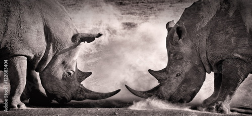 Foto op Aluminium Neushoorn fight, a confrontation between two white rhino in the African savannah on the lake Nakuru