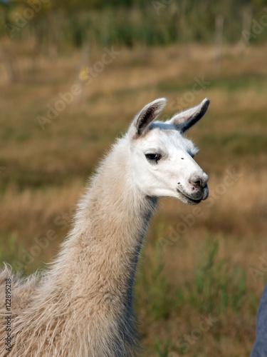 Keuken foto achterwand Lama Llama (Lama glama)