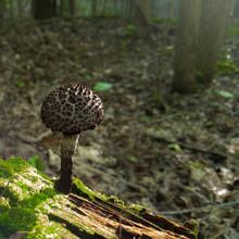 Old Man Of The Woods (Mushroom)