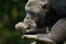 Chimpansee Zit Te Denken.