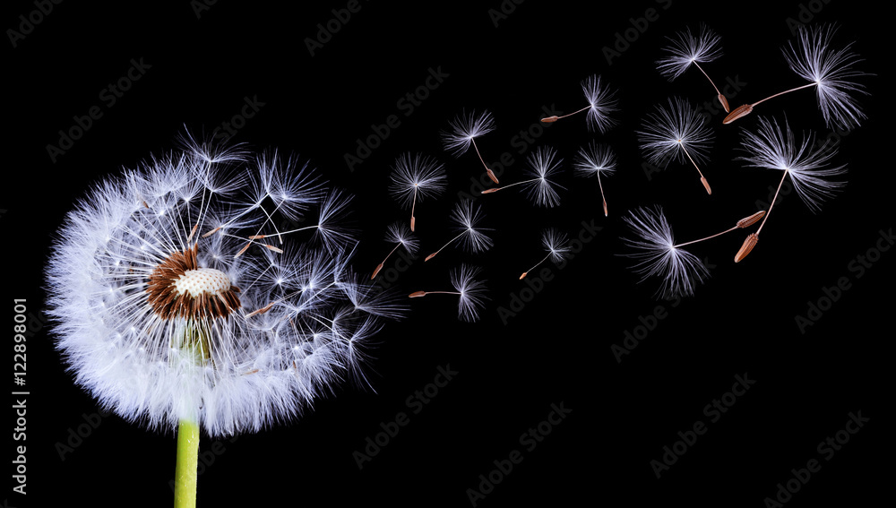 Silhouettes of dandelion