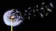 Silhouettes of dandelion