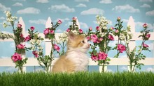 4K HD Video Of On Orange And White Long Haired Kitten Sitting In Studio Garden With Grass Picket Fence Pink Roses And White Flowers With Sky Background. Twitching Ears Licking Mouth Looking At Camera.