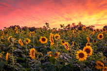 Vivid Sunset Over Sunflower Field Maze
