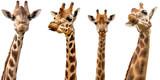 Żyrafy na białym tle