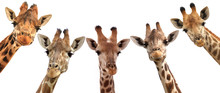 Giraffe Heads Isolated On Whit...