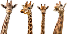 Giraffes Isolated On White Bac...