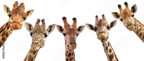 Giraffe heads isolated on white background Wallpaper Mural