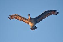 Brown Pelican In Full Spread Posture Flying  In Sunset