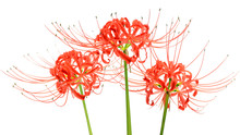 Red Spider Lily Flowers, Or Ly...