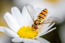 A Hoverfly Eating From A Daisy...