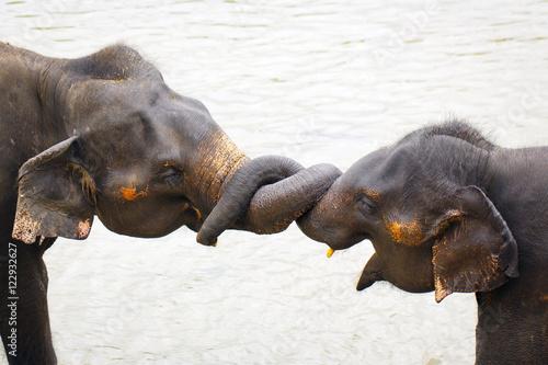 Poster Olifant sri lanka elephant