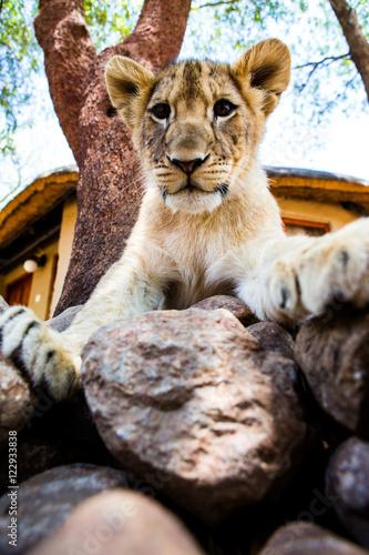 einzelne bedruckte Lamellen - Lion/Löwe Baby (von Fabian )