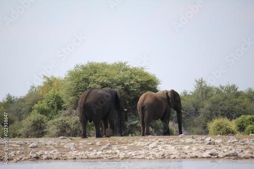 Foto op Aluminium Olifant Elephants leaving the waterhole in Namibia, Africa