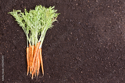 Single bundle of raw carrots over soil Canvas-taulu