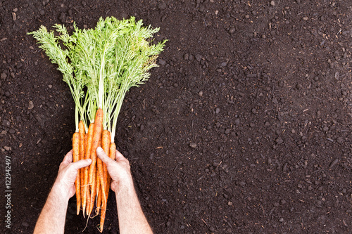 Valokuva  Male hands holding bunches of raw carrots