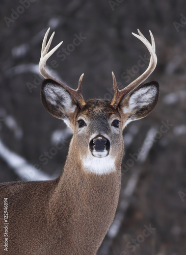 In de dag Hert White-tailed deer buck closeup in winter in Canada