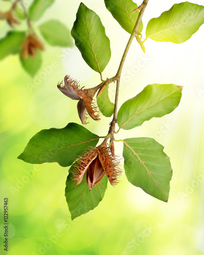 Photo Beech branch with beechnuts on green natural background