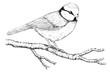 Leinwandbild Motiv Meise, Blaumeise, Vogel