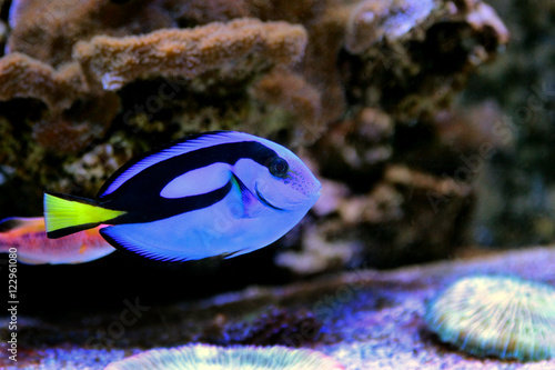 Fotografie, Tablou  Blue Hypo Tang (Finding Dory)
