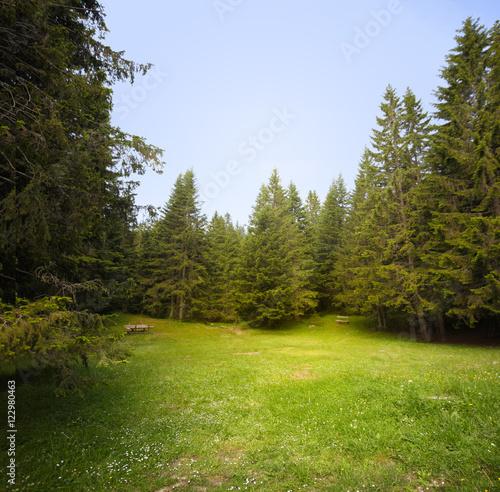 Valokuva  Grass glade in spruce forest.