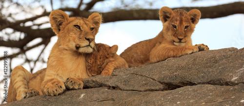 Photo  Lionceaux et grand frère au Serengeti, Tanzanie