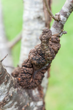 Close Up Of Black Canker Infec...