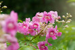 Beautiful background pink flowers. with soft focus