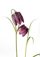 Purple Fritillaria Meleagris O...