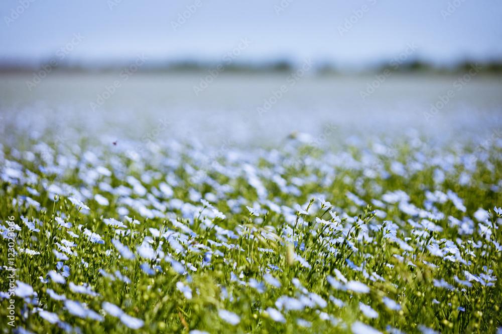 Fototapety, obrazy: Blue flax field flowers